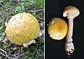 Amanita gemmata (31591428911).jpg
