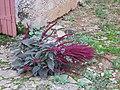 Amaranthe à Lacrost D1910.jpg