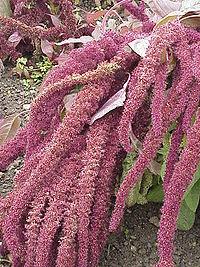 Amaranthus hybridus0
