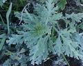 Ambrosia chamissonis01.jpg