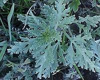 Ambrosia chamissonis01