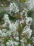 Amelanchier x grandiflora Cole's Select - Flickr - peganum.jpg