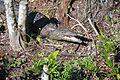 American crocodile, Everglades National Park - panoramio.jpg