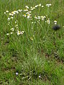 Ammobium alatum plant2 (8371202691).jpg