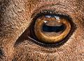 Ammotragus lervia Zoo Amneville 28092014 1.jpg