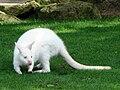 Amneville Wallaby albinos 27082010 3.jpg