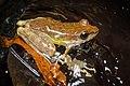 Amolops panhai, Panha's torrent frog - Kui Buri Natioal Park (40612198013).jpg