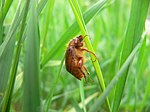 Amphimallon assimile-June Beetle.jpg