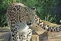 Amur Leopard (Panthera pardus), Colchester Zoo (6113245244).jpg
