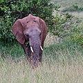 An elephant called rusty (42800475252).jpg