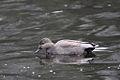 Anas strepera -Rutland Water, Rutland, England -male-8.jpg