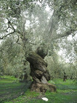 Ancient Olive Tree in Pelion, Greece