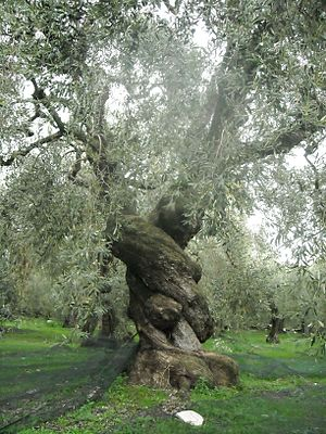 Unique Ancient Olive Tree