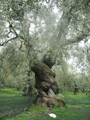 http://upload.wikimedia.org/wikipedia/commons/thumb/f/f2/Ancient_Olive_Tree_in_Pelion%2C_Greece.jpg/360px-Ancient_Olive_Tree_in_Pelion%2C_Greece.jpg