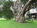 Ancient Yew tree in Sullington church graveyard - geograph.org.uk - 1425679.jpg