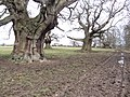 Ancient trees by muddy farm track - Croft - Feb 2012 - panoramio.jpg