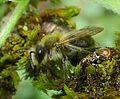 Andrena sp. - Flickr - gailhampshire (3).jpg