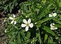 Anemone canadensis kz02.jpg