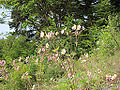 Anemone hupehensis, Jiuzhaigou 2.jpg