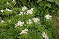 Anemone narcissiflora 22.jpg