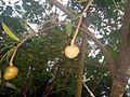 Annona reticulata fruit.JPG