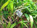 Ansellia africana - tiger orchid South Africa - Kirstenbosch.jpg