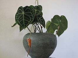 Anthurium in pot.jpg