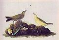 Anthus spinoletta audubon.jpg