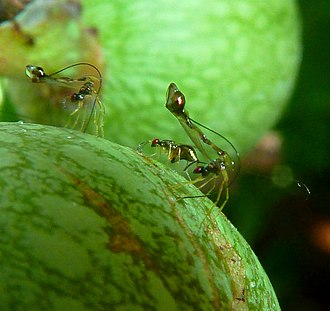 Fig wasp - Non-pollinating parasitoid wasps Apocrypta ovipositing on Ficus sur in South Africa
