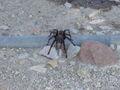 Aponopelma spp 2004-08-17 1.jpg