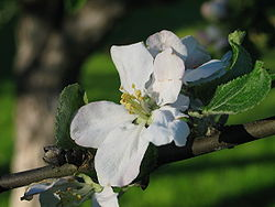 Apple tree flower 20050613.jpg