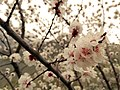 Apricot Blossom in Hunza Valley - April 16th, 2018.jpg