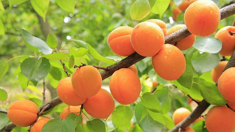 File:Apricots-824626.jpg