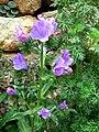 Aptera - Blaue Blüten.jpg