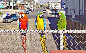 Macaw - From L to R: scarlet macaw, blue-and-yellow macaw, and military macaw