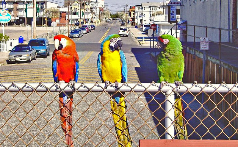 Macaws at Wildwood Beach