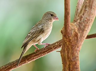 Arabian serin species of bird