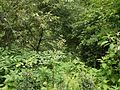 Aralia cachemirica (7788863106).jpg