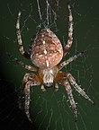 Araneus diadematus P1050745a.jpg