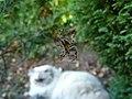 Araneus diadematus in a garden orb web 2.jpg