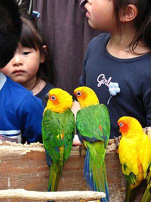 Jandaya parakeet - Image: Aratinga jandaya and solstitialis
