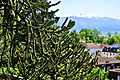 Araucaria du Chili Lausanne.jpg