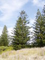 Araucaria heterophylla 02.jpg
