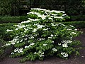 Arbusto - Viburnum plicatum mariesii - Real Jardin Botanico de Madrid (12394410654).jpg