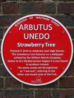 Arbutus unedo (waltham forest)