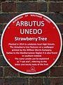 Arbutus Unedo (Waltham Forest).jpg