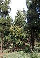 Arbutus canariensis kz6.JPG