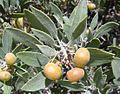 Arctostaphylos pungens fruit (27681103681).jpg