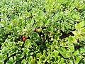 Arctostaphylos uva-ursi kz10.jpg