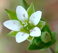 A. serpyllifolia, sandnarv